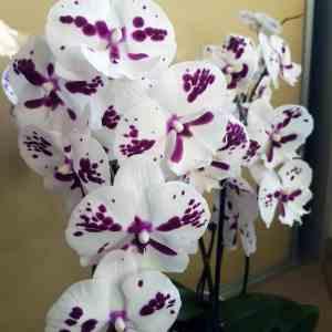 Phalaenopsis Blüte