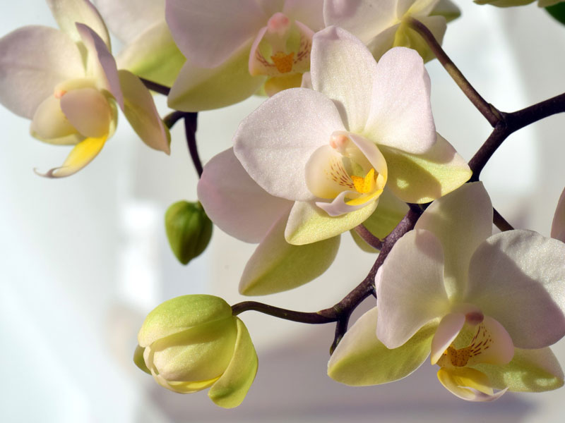 Phalaenopsis pflegen