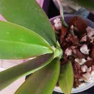 Phalaenopsis Yaphon Green Batman