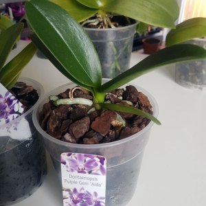 Doritaenopsis Purple Gem Aida