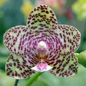 """Phalaenopsis Natasha """"Aiko"""""""