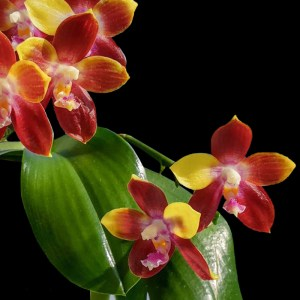 Phalaenopsis Tying Shin Fly Eagle