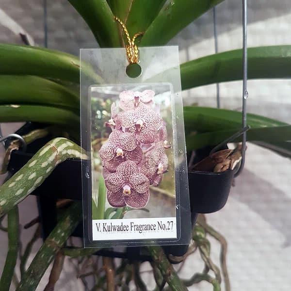 Vanda Orchideen