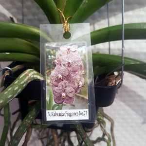 Vanda Kuwaldee Fragrance No. 27