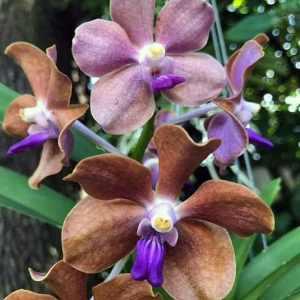 Vanda Hybride in Braun-Violett