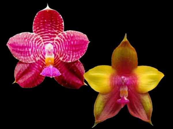 seltene phalaenopsis kaufen