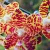 Phalaenopsis Jadegold