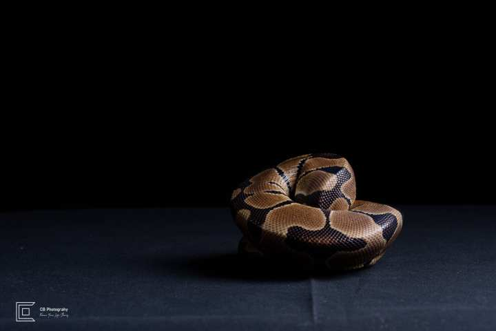 Pet Photography in Studio | Tokyo Cristian Bucur Photography Snake portrait.
