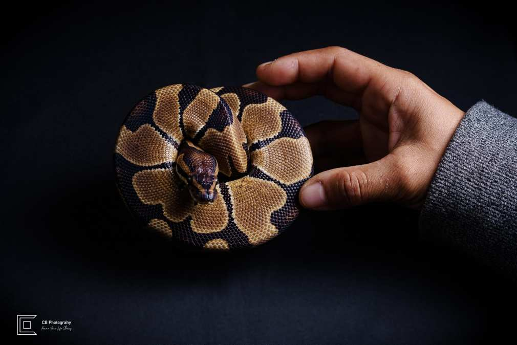 Studio Sessions for pet photography: snake