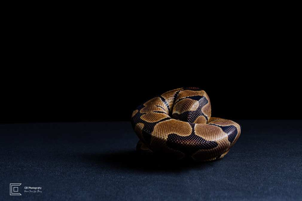 Pet photographer in Tokyo: Snake-coiled, image taken in a photo studio by Cristian Bucur