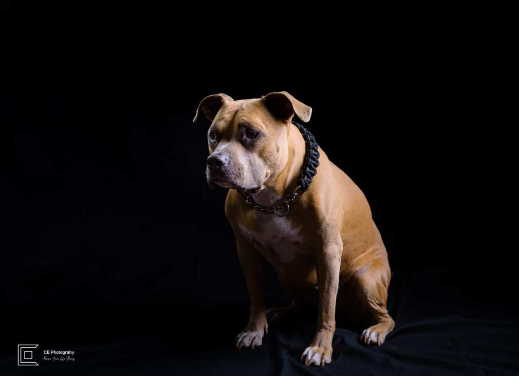Pet photographer in Tokyo: Pit Bull Terrier, image taken in a photo studio by Cristian Bucur