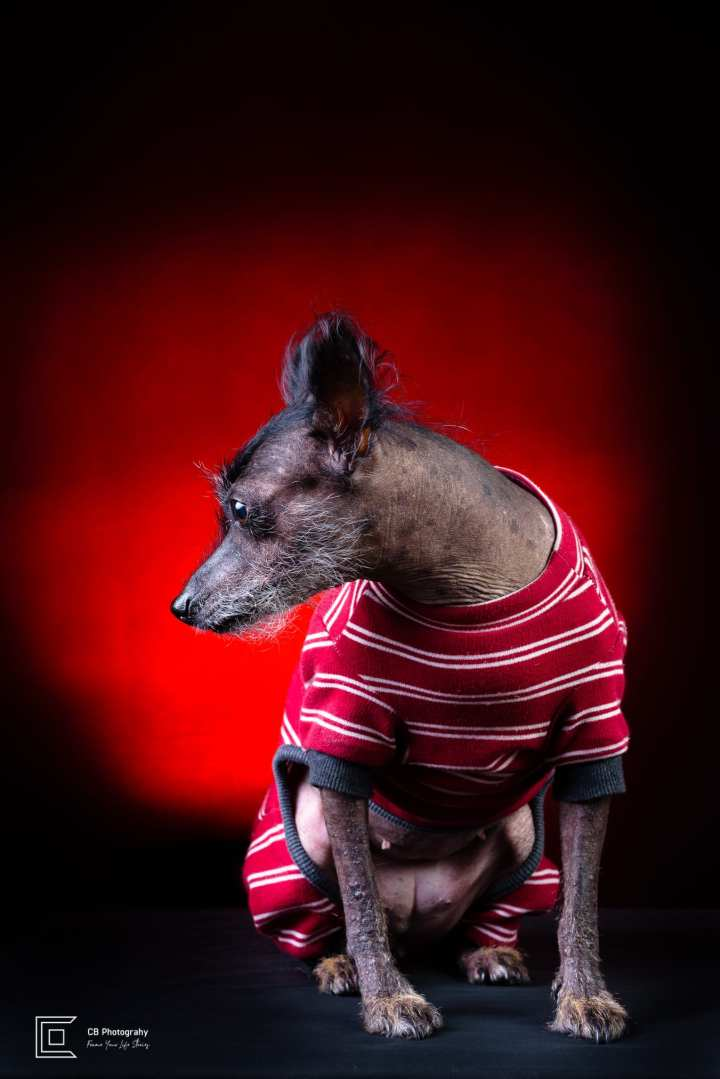 Pet photography in studio, female Xoloitzcuintli-know as Mexican Naked Dog, using a red light background, image by Tokyo Photographer Cristian Bucur