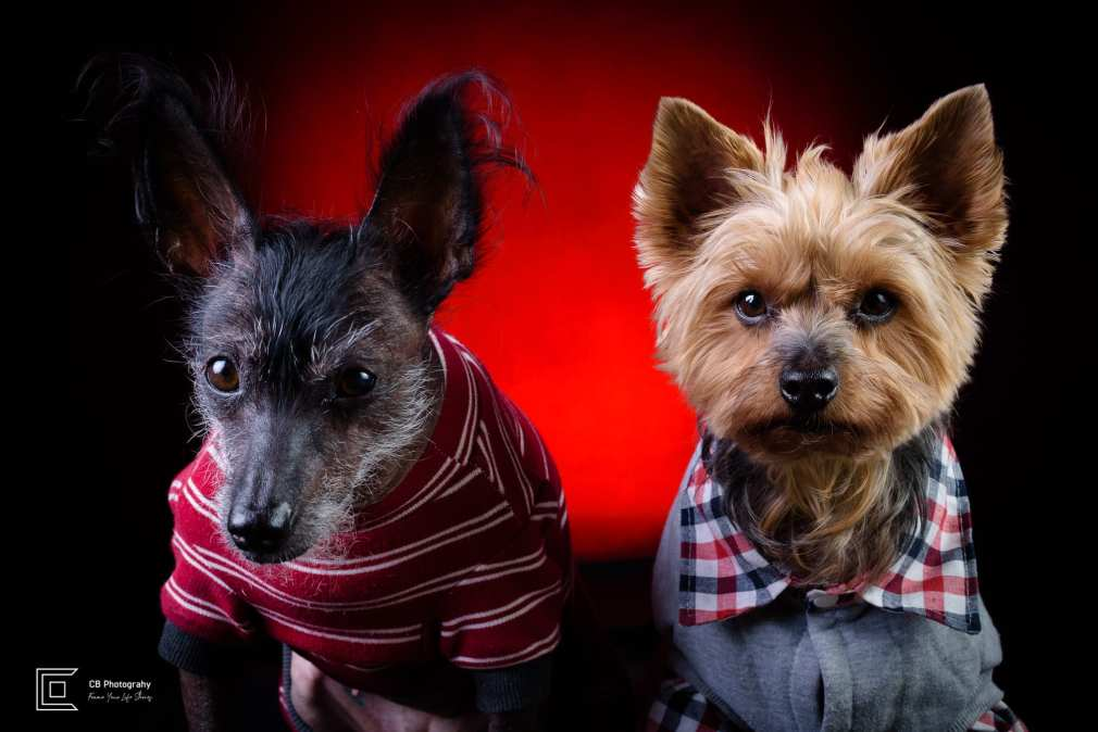 Pet photography in studio, female Xoloitzcuintli-know as Mexican Naked Dog and male Yorkshire Terrier, using a red light background, image by Tokyo Photographer Cristian Bucur