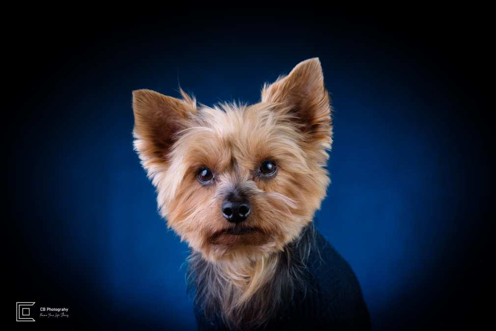Pet photography in studio, Yorkshire Terrier, using a blue background, image by Tokyo Photographer Cristian Bucur