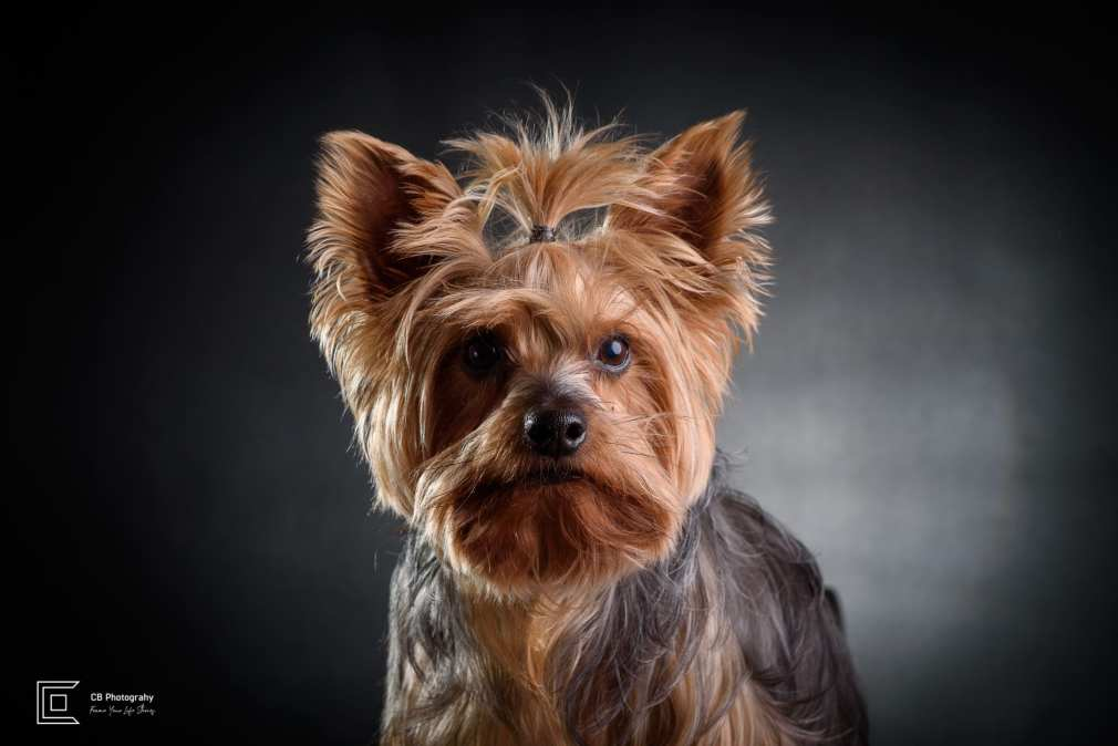 Yorkshire Terrier Portrait Photo