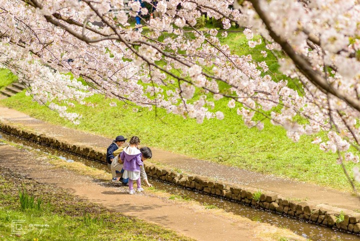 Best place for family photos this year. Children under Cherry trees in full bloom. Image by the Tokyo Photographer Cristian Bucur.