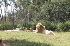 Safári - National Park Pilanesberg. lion Park leão branco Leões brancos.