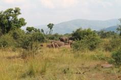 Turismo. Safári na África do Sul. Pilensberg. Família de elefantes no banho de lama.