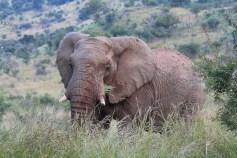 Turismo. Safári na África do Sul. Pilensberg elefantes africanos