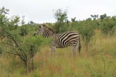 Turismo. Safári na África do Sul. Pilensberg zebrinha :)