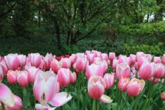 Tulipas no jardim botânico de Keukenhof na Holanda.
