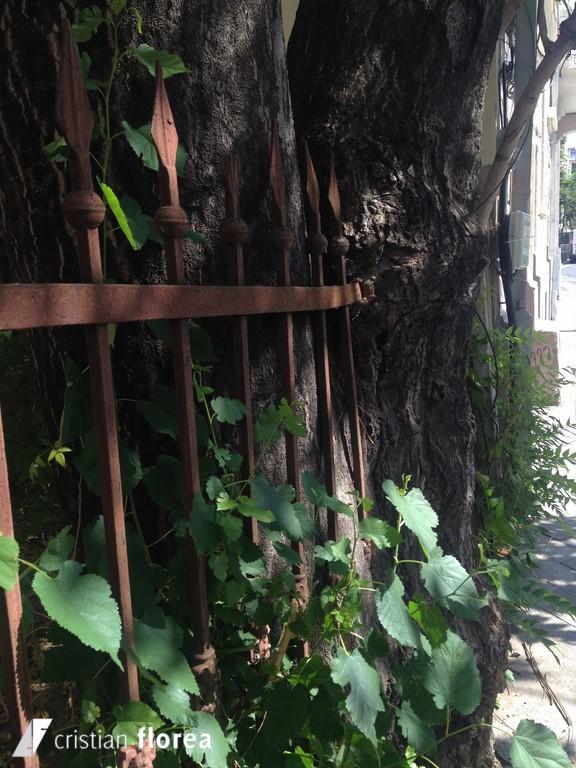 copacul care a inghitit un gard - bucuresti (3)
