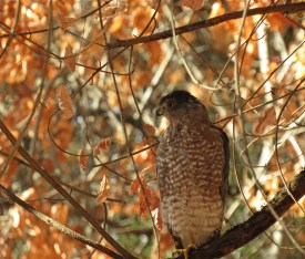 This hawk was perched above the trail near Negro Bar SP