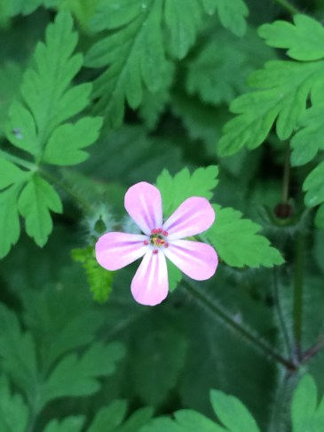 pink-wild-flower