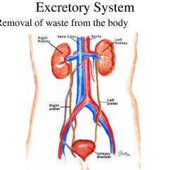 Urinary System Diagram And Functions Gy6 150cc Buggy Wiring Excretory Lessons Tes Teach
