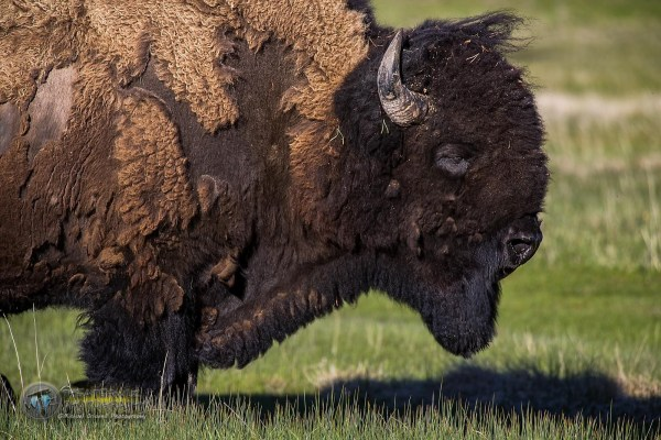 Bison Archives Michael Criswell Photography quotTheaterwizquot