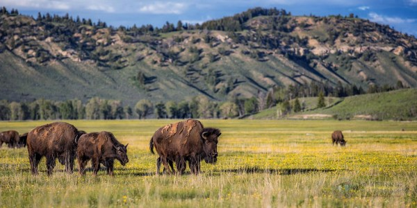 American Bison Archives Michael Criswell Photography