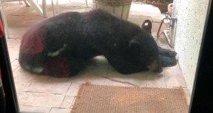 Capturan oso sociable San Pedro Nuevo León