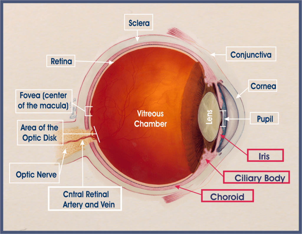 hight resolution of cross sectional anatomy of the eye the uvea is made of the iris ciliary body and choroid red outlined boxes