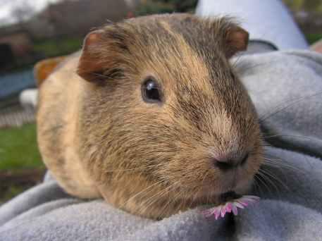 guinea-pig-female-agouti-portrait-51116