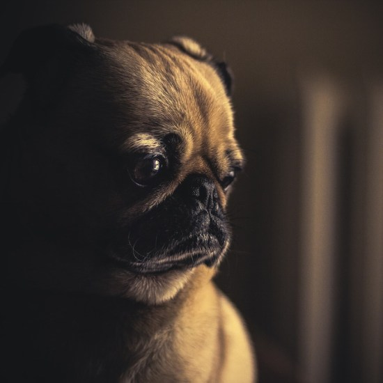 sad dog pug dark Critter Caretakers Pet Services Can the Collars and Harness I Use Help My Dog Walk Better?