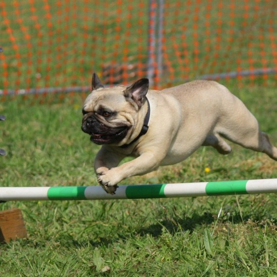 pug dog training jumping Critter Caretakers Pet Services Hartz Products? Not For This Gilbert Pet Sitter!
