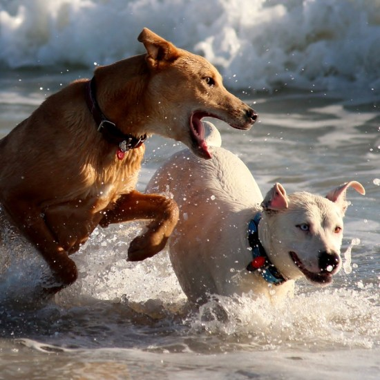 dogs playing water sea beach Critter Caretakers Pet Services Why you don't want to hire a $10 a visit pet sitter