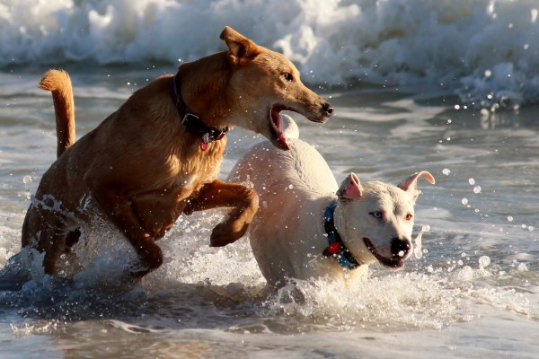 dogs playing water sea beach Critter Caretakers Pet Services Tempe Pet Sitter Discusses How to Introduce Dogs to Each Other