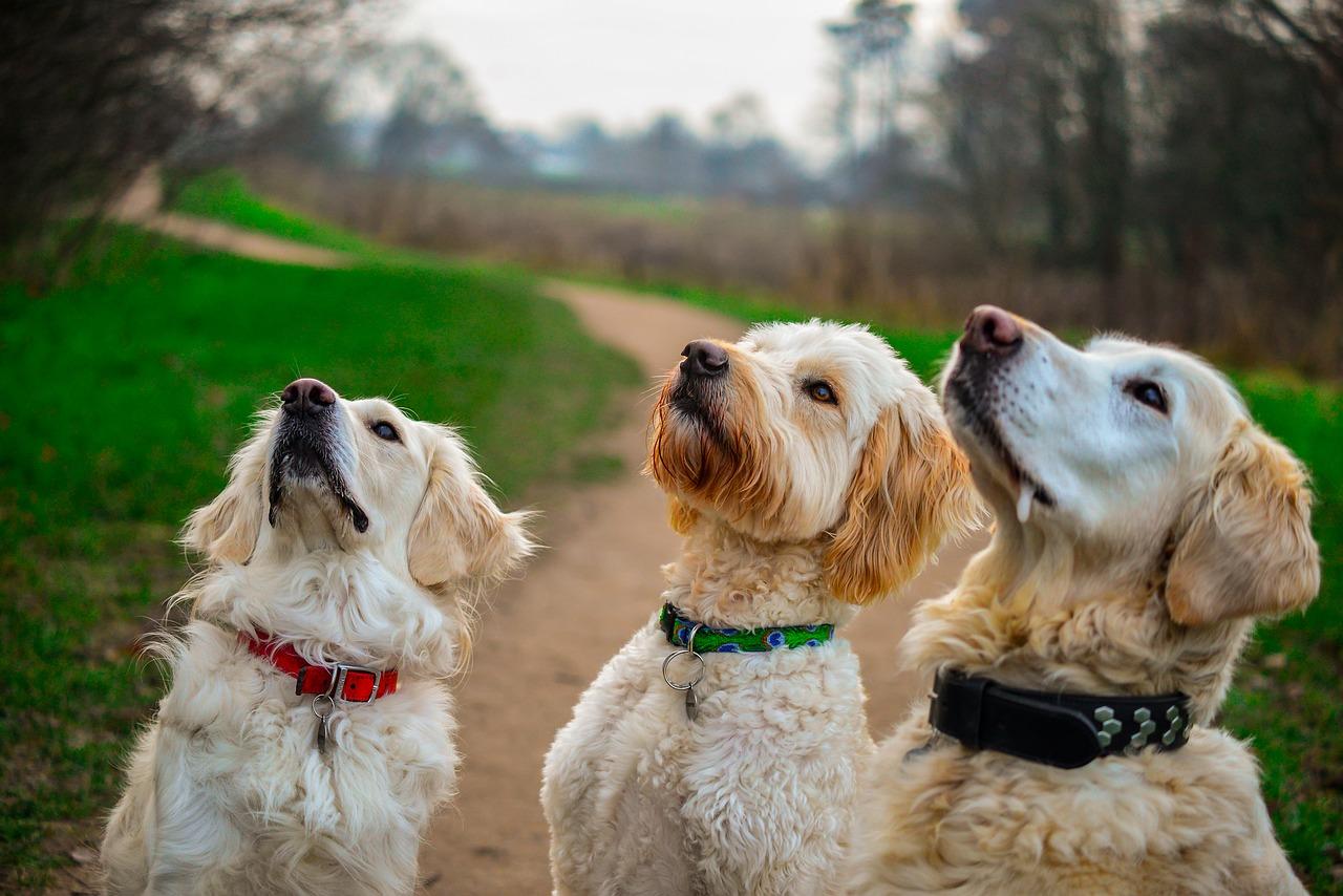 golden retriever sit dog treats Critter Caretakers Pet Services Chandler Dog Sitters Share Yummy Spring Treats