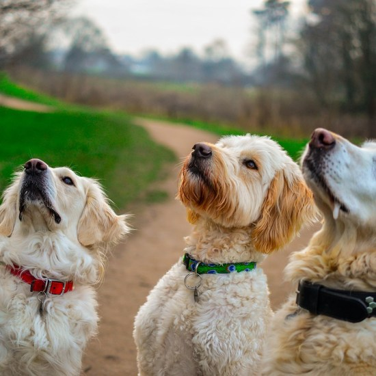 golden retriever sit dog treats Critter Caretakers Pet Services Separation Anxiety: What You Can Do to Help Your Nervous Pup When You're Gone