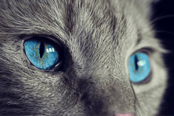cat grey blue eyes Critter Caretakers Pet Services Why Does My Cat Chew on Plastic?