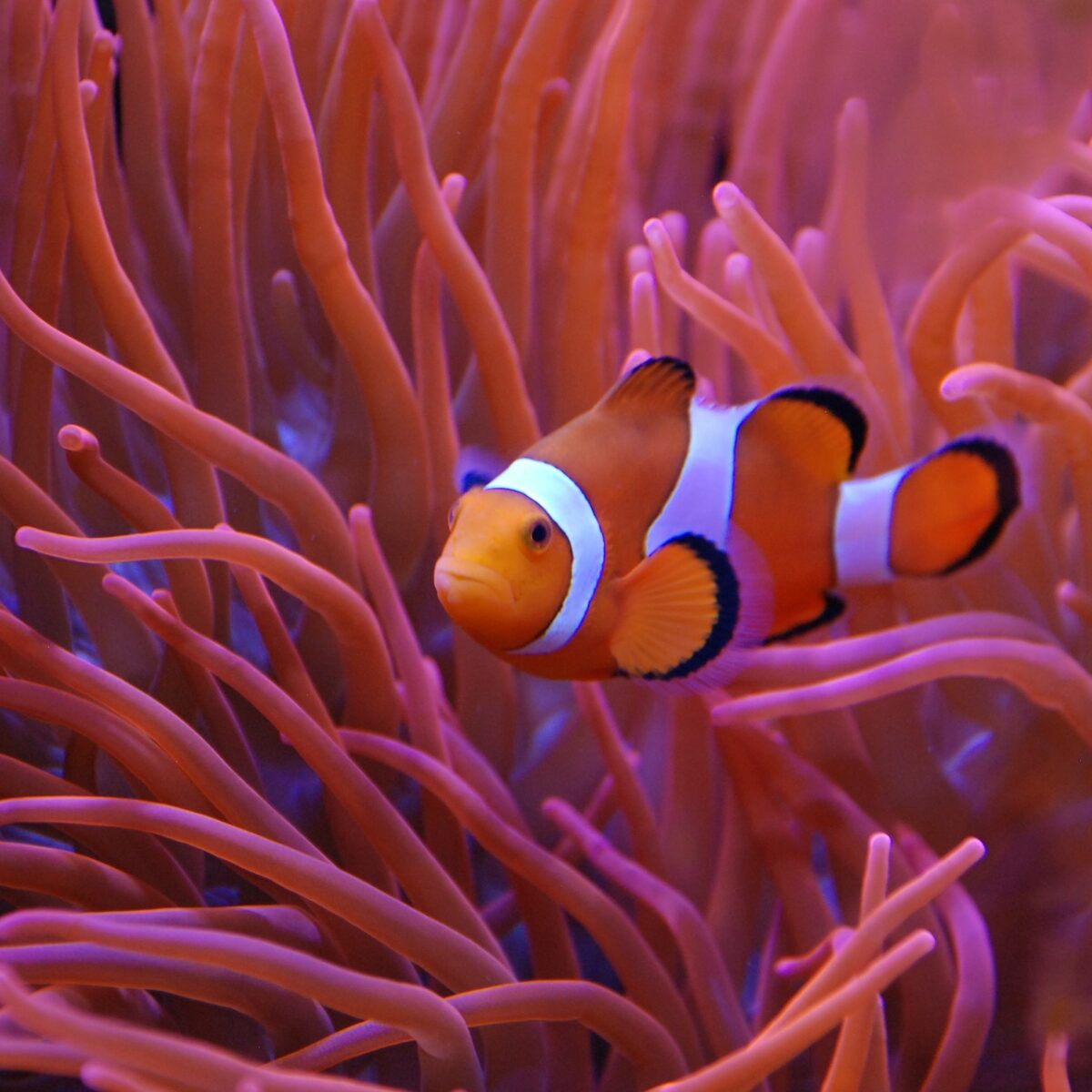 aqaurium clown fish