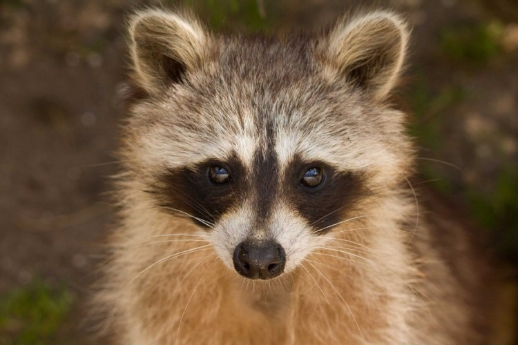 What To Do If You See A Raccoon In The Home Yard Wild Critter Clean Out