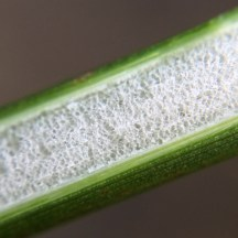 Pith of great soft-rush (Juncus pallidus), showing air gaps.