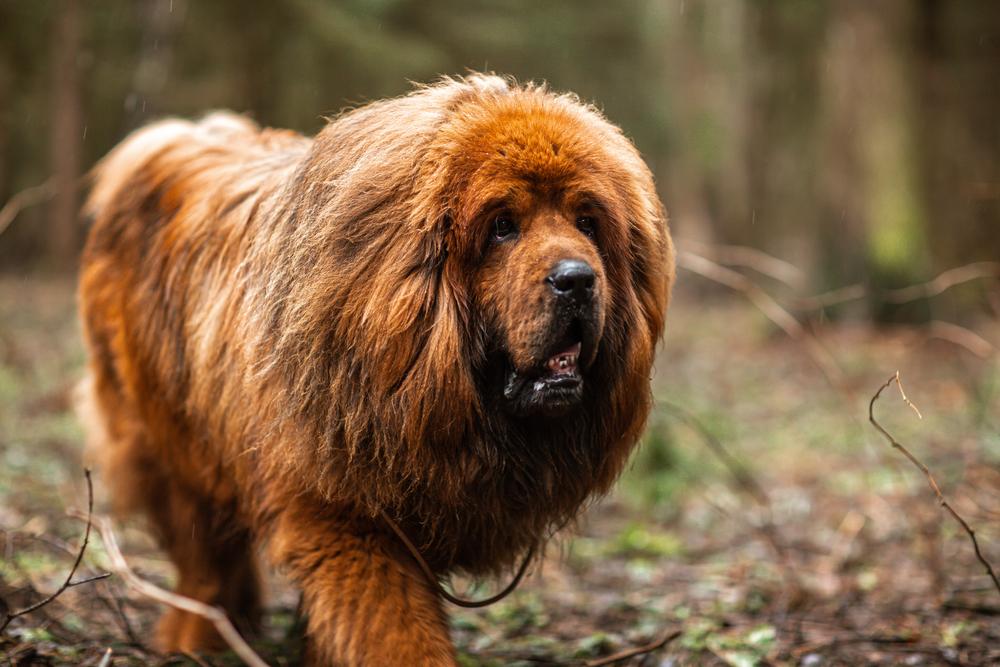 Tibetan Mastiff   CRITTERFACTS