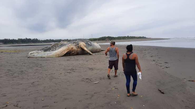 Dos personas caminan y observan a la ballena que se encuentra muerta a la orilla de la playa. (Foto: Cristian Soto)