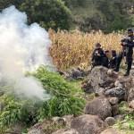 Autoridades incineran plantas de marihuana en San Marcos. (Fotos: PNC)