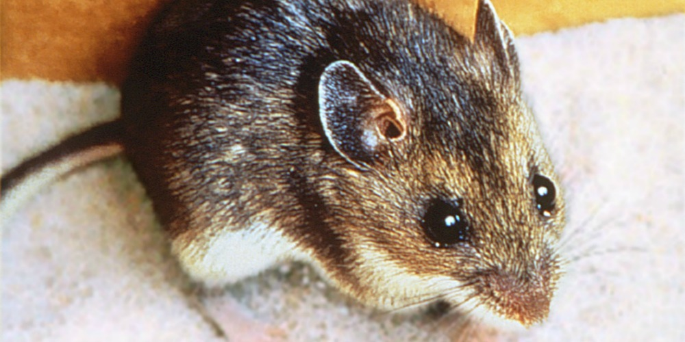 Deer Mouse - A Dangerous Disease-Spreading Rodent   Croach