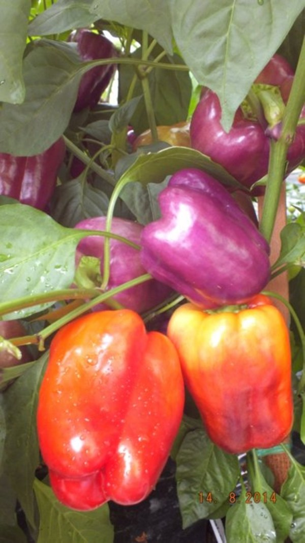 Black Purple peppers Purple Sweet Bell Pepper IKO IKO