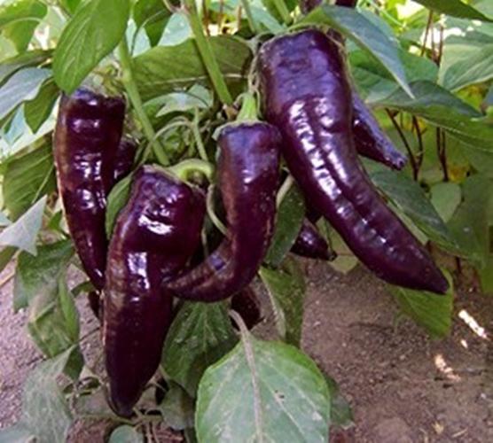 Black Purple peppers Purple Sweet Pepper MARCONI PURPLE